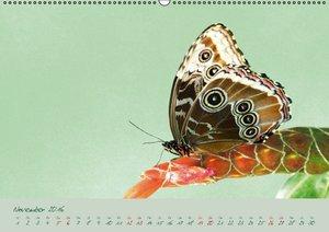 Edelfalter - 2 - (Wandkalender 2016 DIN A2 quer)