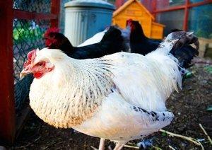 Glückliche Hühner (Posterbuch DIN A2 quer)