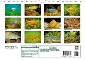 CALVENDO: Heimische Fische: Karpfen, Barbe, Stör (Wandkalend