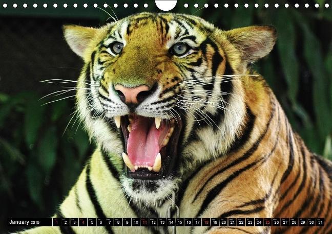Big Cats . Faces of the most beautiful predators (Wall Calendar - zum Schließen ins Bild klicken