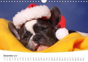 Bullys - Französische Bulldoggen 2016 (Wandkalender 2016 DIN A4
