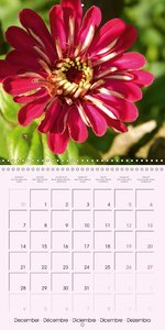 Flowering Miracle Zinnia (Wall Calendar 2015 300 &times 300 mm S