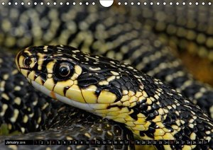 Close encounters with European snakes / UK-version (Wall Calenda