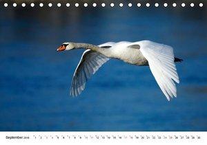 Höckerschwäne am Rhein (Tischkalender 2016 DIN A5 quer)