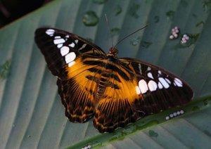 Tropische Träume - Exotische Schmetterlinge (Posterbuch DIN A3 q