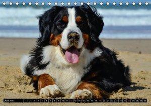 Augenblicke mit dem Berner Sennenhund (Tischkalender 2016 DIN A5