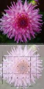 The Dahlia Garden (Wall Calendar 2015 300 × 300 mm Square)