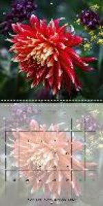 The Dahlia Garden (Wall Calendar 2015 300 × 300 mm Square)