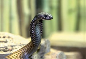 Premium Textil-Leinwand 90 cm x 60 cm quer Gefährliche Schlangen