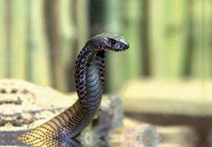 Premium Textil-Leinwand 45 cm x 30 cm quer Gefährliche Schlangen