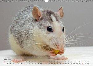 Ratten - Gelehrige Haustiere (Wandkalender 2016 DIN A3 quer)