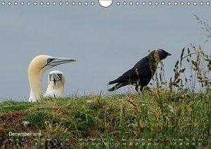 Northern Gannets (UK-Version) (Wall Calendar 2016 DIN A4 Landsca