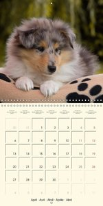 Collie Puppies to fall in love with (Wall Calendar 2015 300 × 30