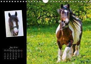 Irish Cob (Wall Calendar 2015 DIN A4 Landscape)