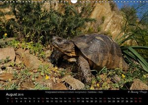 European Tortoises / UK-Version (Wall Calendar 2015 DIN A3 Lands