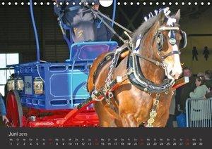 Stanzer, E: Shire Horse . Prunkvolle Giganten (Wandkalender