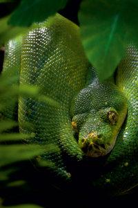 Premium Textil-Leinwand 50 cm x 75 cm hoch Der grüne Baumpython