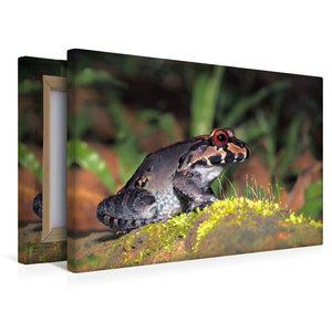 Premium Textil-Leinwand 45 cm x 30 cm quer Leptodactylus savagei