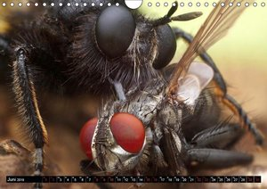 Faszination Makrofotografie: Raubfliegen