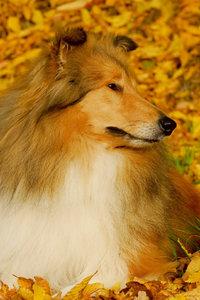 Premium Textil-Leinwand 50 cm x 75 cm hoch Collie - Herbstfarben