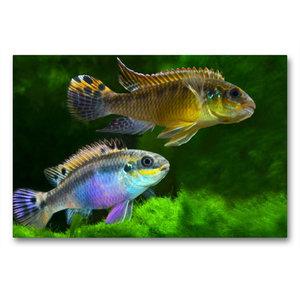 Premium Textil-Leinwand 90 cm x 60 cm quer Pelvicachromis taenia