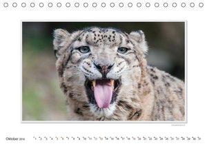 Emotionale Momente: Große Raubkatzen der Welt.CH-Version (Tisch