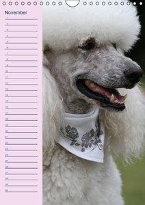Pudel / Geburtstagskalender (Wandkalender immerwährend DIN A4 ho