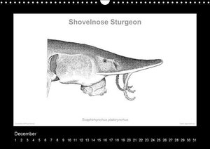 American Sturgeons (Acipenseridae): Fish as Art (Wall Calendar p