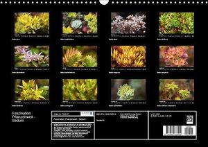 Faszination Pflanzenwelt - Sedum (Wandkalender 2019 DIN A3 quer)