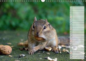 Streifenhörnchen - neugierige Nager (Wandkalender 2019 DIN A3 qu