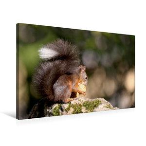 Premium Textil-Leinwand 75 cm x 50 cm quer Eichhörnchen knabbert