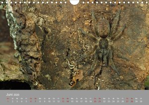 Achtbeinige Exoten (Wandkalender 2020 DIN A4 quer)