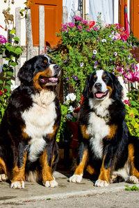 Premium Textil-Leinwand 80 cm x 120 cm hoch Berner Sennenhunde