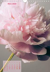 Die Königin der Rosen