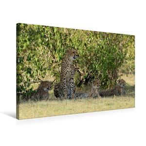 Premium Textil-Leinwand 75 cm x 50 cm quer Geparden unter schatt