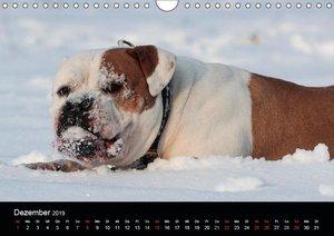 American Bulldog - alles Andere ist nur ein Hund (Wandkalender 2