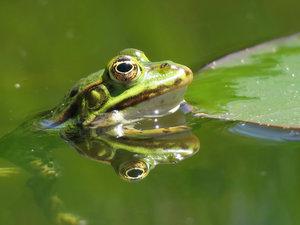 CALVENDO Puzzle Frosch spiegelt sich im Wasser 1000 Teile Lege-G