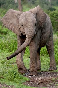 Premium Textil-Leinwand 60 cm x 90 cm hoch Afrikanisches Elefant