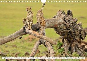 Faszinaton Afrika: Geparde