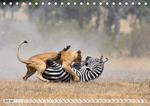Faszination Afrika: Löwen