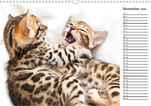 Bengal Kätzchen - Der Geburtstagskalender (Wandkalender 2020 DIN