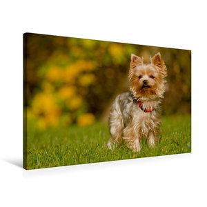 Premium Textil-Leinwand 75 cm x 50 cm quer Yorkshire Terrier