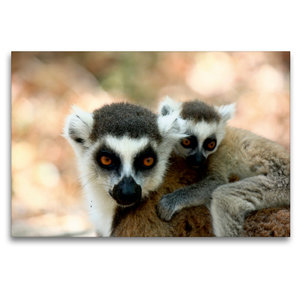Premium Textil-Leinwand 120 cm x 80 cm quer Katta Lemur mit Baby