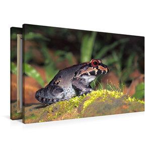Premium Textil-Leinwand 90 cm x 60 cm quer Leptodactylus savagei