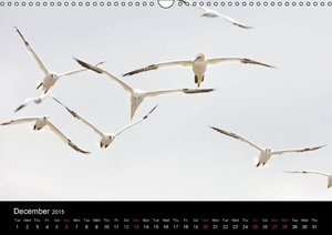 Bass Rock Gannets (Wall Calendar 2015 DIN A3 Landscape)