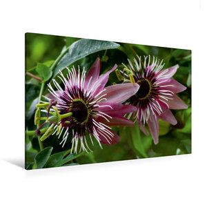 Premium Textil-Leinwand 120 cm x 80 cm quer Passiflora x violace