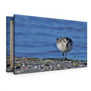 Premium Textil-Leinwand 90 cm x 60 cm quer Sanderling (Calidris