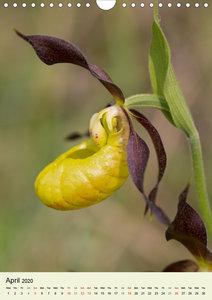 Wild European Orchids