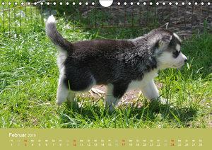 Husky Welpen (Wandkalender 2019 DIN A4 quer)