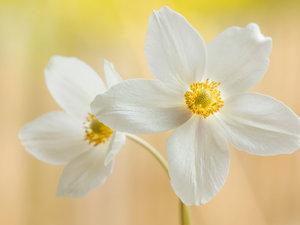 CALVENDO Puzzle Weiße Blumen - Herbstanemone 1000 Teile Lege-Grö